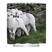 Spring Lambs 2 Shower Curtain