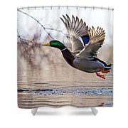 Spring Mallard  Shower Curtain