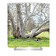 Spring Sycamore Tree Shower Curtain