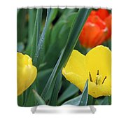 Spring Tulips 144 Shower Curtain