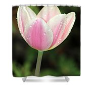 Spring Tulips 161 Shower Curtain