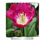 Spring Tulips 186 Shower Curtain