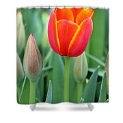 Spring Tulips 211 Shower Curtain