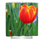 Spring Tulips 214 Shower Curtain