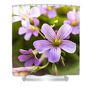 Springtime Blooms Violet Wood Sorrel 3 Shower Curtain