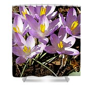 Springtime Crocuses  Shower Curtain