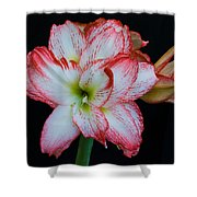Springtime Florida Amaryllis Shower Curtain