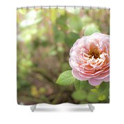 St. Cecilia Shrub Rose, Pink Rose Originally Produced By The Br Shower Curtain