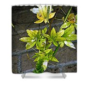 Stalk With Seed Pods Shower Curtain