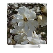 Star Magnolia Blooms Shower Curtain