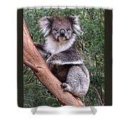 Staring Koala Shower Curtain