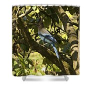 Stellar Jay 2 Shower Curtain