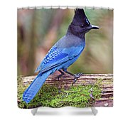 Steller's Jay IIi Shower Curtain