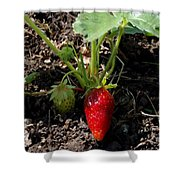 Strawberry Plant Shower Curtain