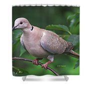 Streptopelia Decaocto Shower Curtain