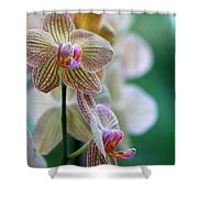 Striped Orchid 1 Shower Curtain