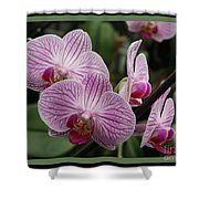 Striped Orchids With Border Shower Curtain