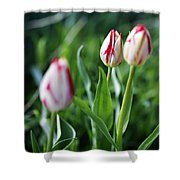 Striped Tulips In Spring Shower Curtain