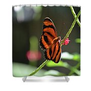 Stunning Little Orange Oak Tiger Butterfly In Nature Shower Curtain