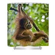 Sumatran Orangutan Pongo Abelii Baby Shower Curtain by Suzi Eszterhas