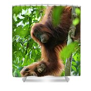 Sumatran Orangutan Pongo Abelii Two Shower Curtain