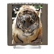 Sumatran Tiger-1440 Shower Curtain