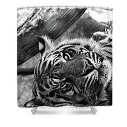 Sumatran Tiger Shower Curtain