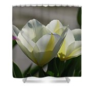 Sun Shining On A Flowering White Tulip Flower Blossom Shower Curtain
