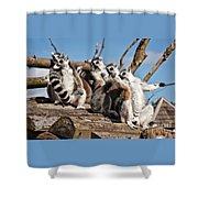 Sunbathing Ring-tailed Lemurs Shower Curtain