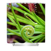 Sundew Drosera Capensis 4 Shower Curtain
