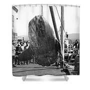 Sunfish Mola Mola On Monterey's Wharf Two June 20 1946 Shower Curtain