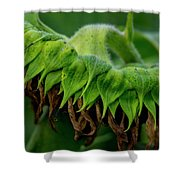 Sunflower 2017 1 Shower Curtain
