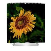 Sunflower 2017 11 Shower Curtain