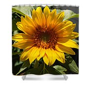 Sunflower Art- Summer Sun- Sunflowers Shower Curtain