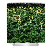 Sunflower Field Panorama Shower Curtain