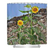 Sunflowers And A Stone Wall Shower Curtain