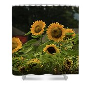 Sunflowers And Red Barn 3 Shower Curtain