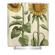 Sunflowers Illustration From Florilegium Shower Curtain