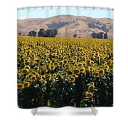 Sunflowers Of Vacaville Shower Curtain