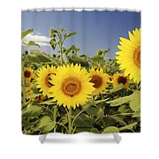 Sunflowers On North Shore Shower Curtain by Vince Cavataio - Printscapes