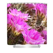 Sunlight On Pink Cactus Blooms Shower Curtain