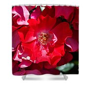 Sunlit Blooms Of Dortmund Hybrid Scots Briar Rose Shower Curtain