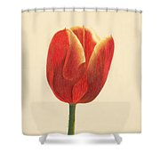 Sunlit Tulip Shower Curtain by Phyllis Howard