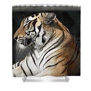 Sunning Tiger Shower Curtain