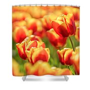 Sunsoaked Tulips #7 Shower Curtain