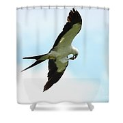 Swallow-tailed Kite Eating Shower Curtain