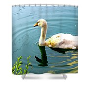 Swan Cygnet By Earl's Photography Shower Curtain