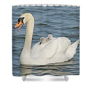 Mute Swan With Babies On Its Back Shower Curtain