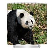 Sweet Chinese Panda Bear Sitting Down In Grass Shower Curtain
