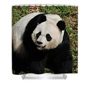 Sweet Faced Chinese Giant Panda Bear Sitting Down Shower Curtain